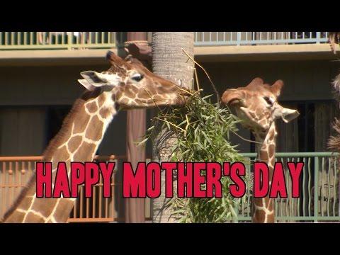 Three generations of giraffe celebrate Mother's Day at Disney's Animal Kingdom Lodge