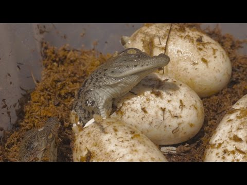 Nile Crocodiles hatch for first time in two years at Gatorland