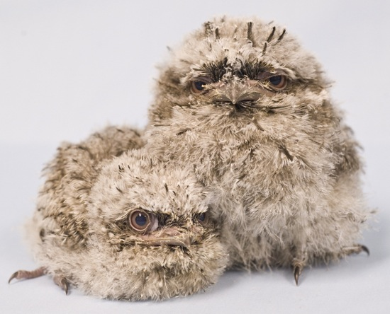 tawny-frogmouth-chicks-from-seaworld-orlando-2