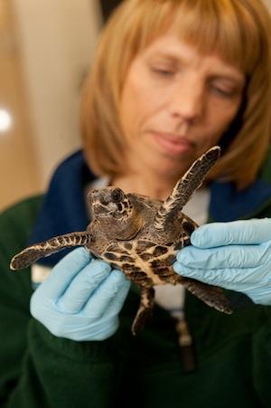 cold-stun-hawksbill-turtle