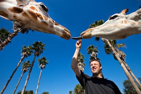 kenseth-giraffe