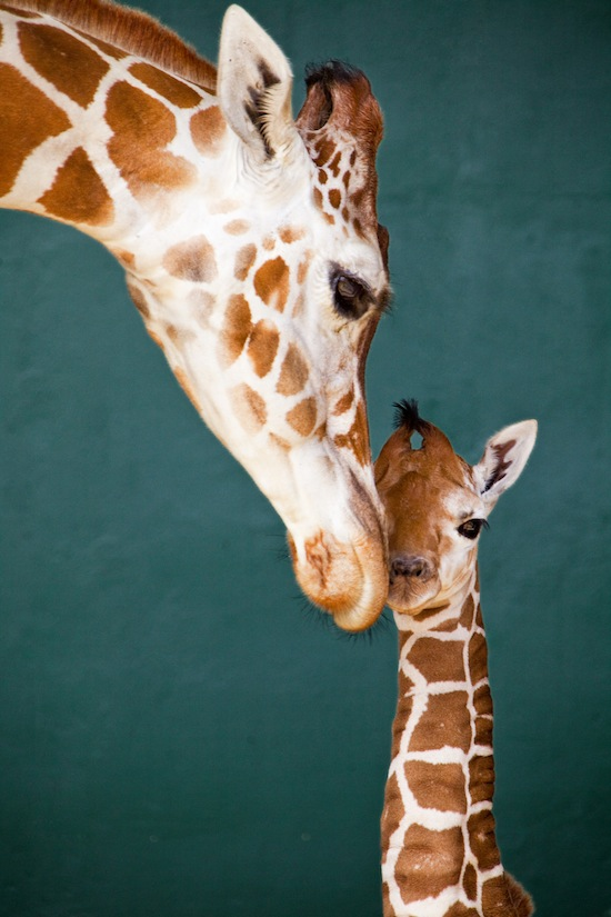 Cute Baby Alert Giraffe Born At Busch Gardens Brings