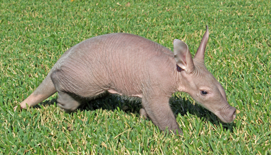aardvark, baby aardvark, busch gardens, bg, bgt, cute, animal, baby