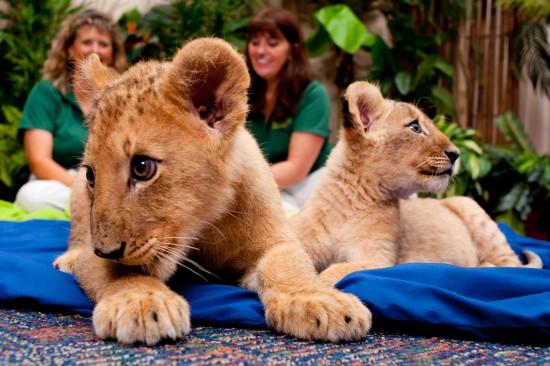 Lion Cubs - Busch Gardens Tampa 3