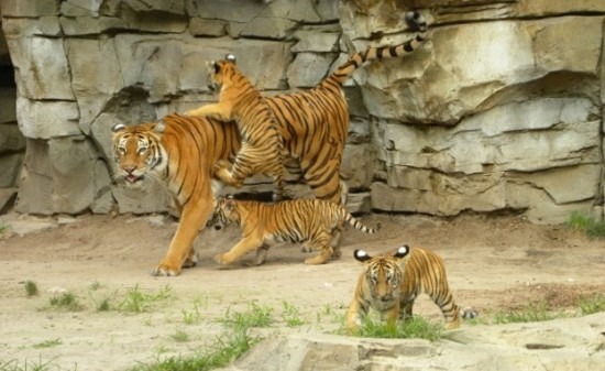 Endangered Malayan Tiger Cubs and Mom on Jungala Habitat