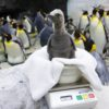 SeaWorld Orlando King Penguin Chick