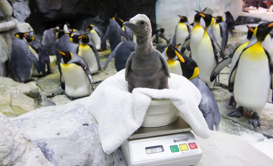 SeaWorld Orlando King Penguin Chick