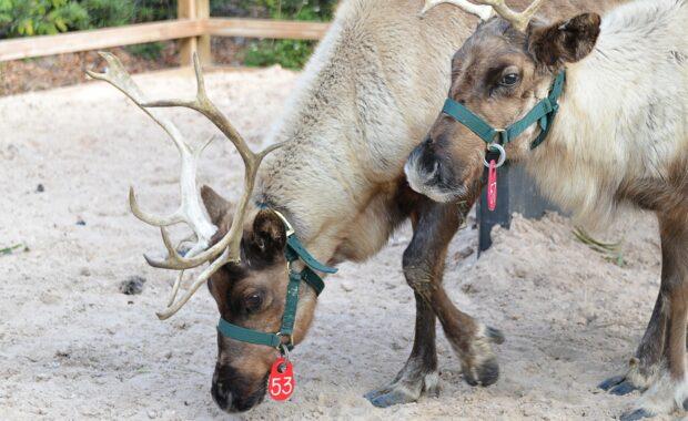 reindeer lowry park zoo