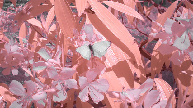 butterfly1FC