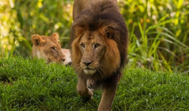 Busch Gardens Tampa World Lion Day