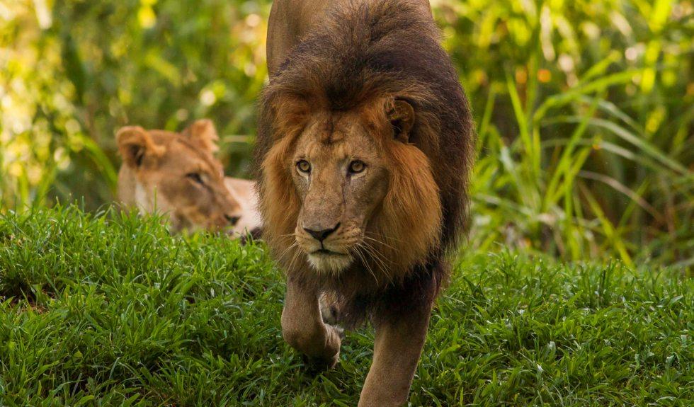 Busch Gardens Tampa to celebrate World Lion Day