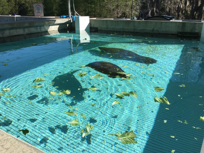 SeaWorld Manatee rehabilitation