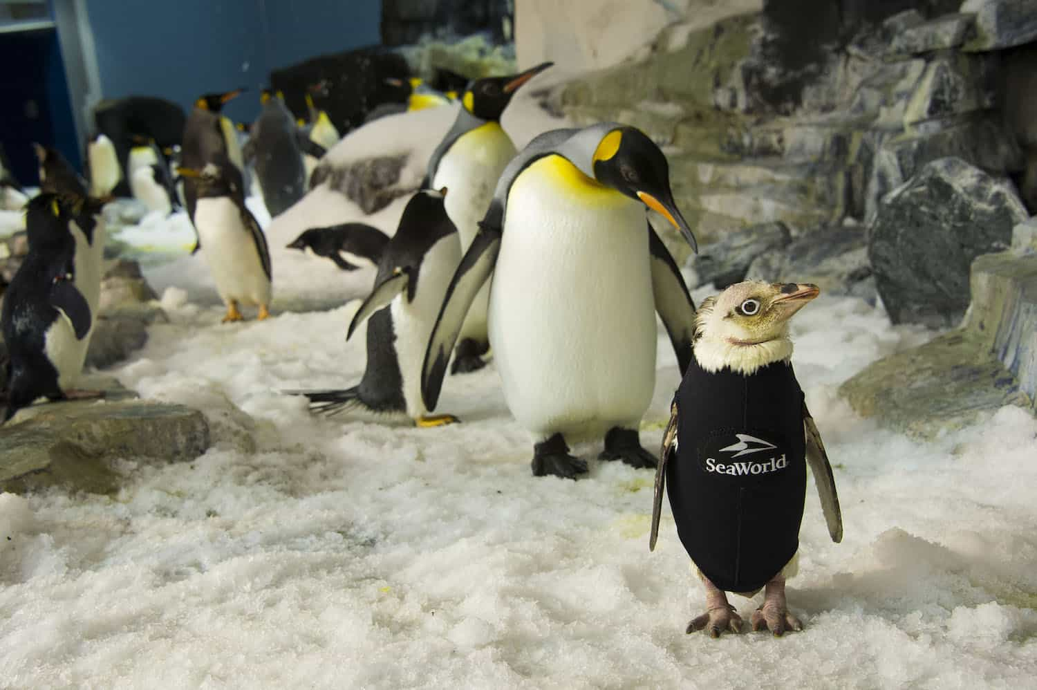 SeaWorld's wardrobe department made a coat for a featherless penguin