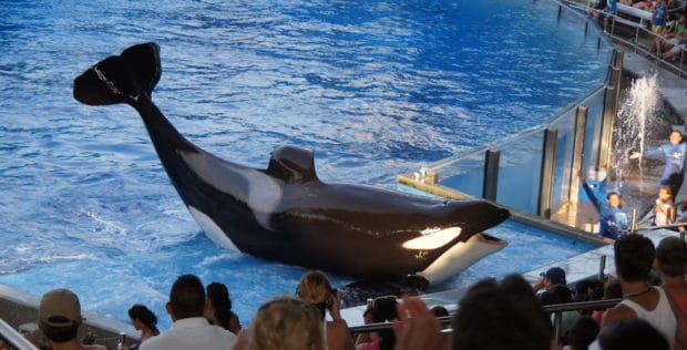 Killer whale at seaworld orlando
