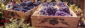 boysenberry-in-ghost-town-featured