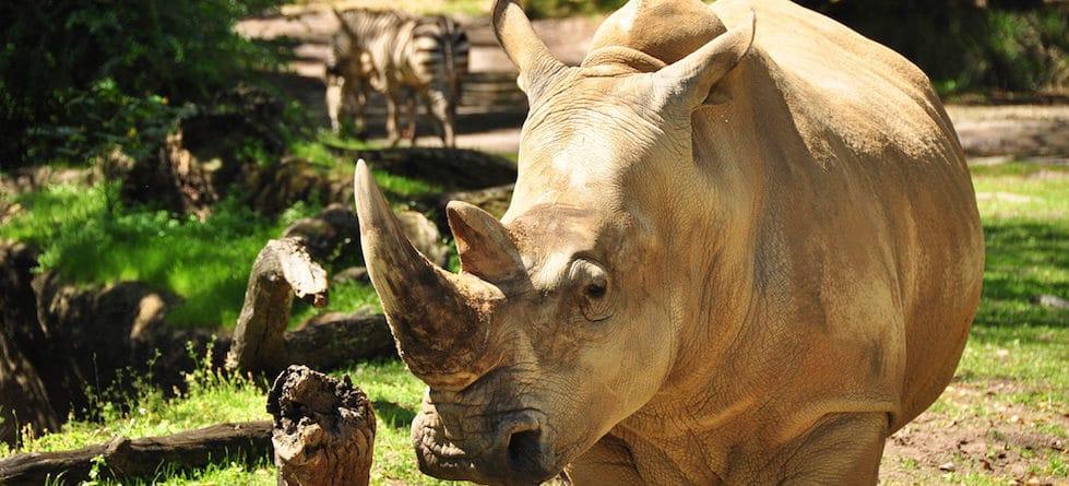 Get 'Up Close with Rhinos' at Disney's Animal Kingdom starting Nov. 1