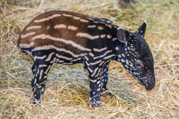 Malayan tapir ZooTampa Lowry Park
