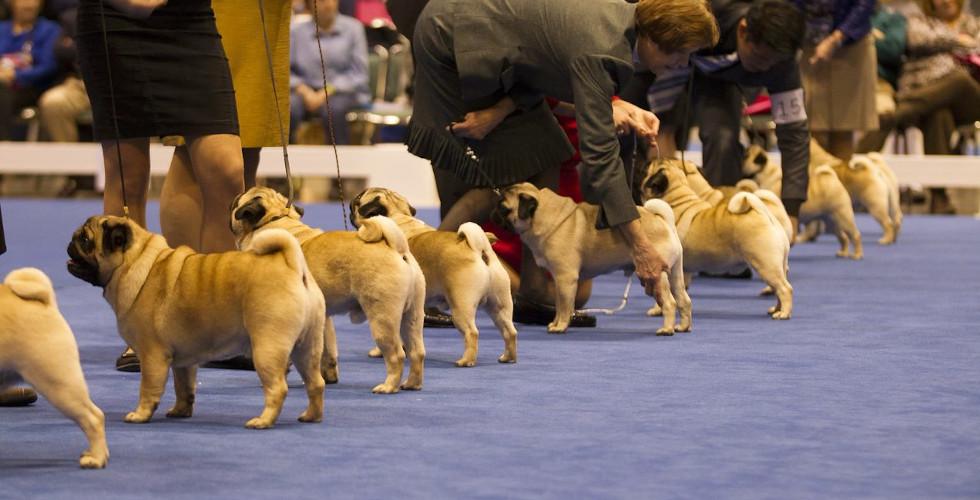 canine extravaganza pugs