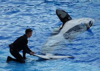 Trainer with killer whale