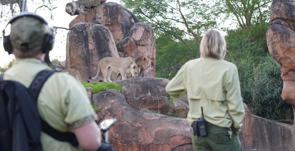 Magic of Disney's Animal Kingdom keepers and lions