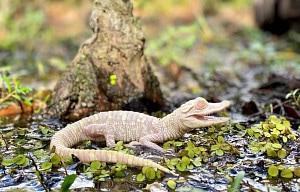 Flurry the albino alligator