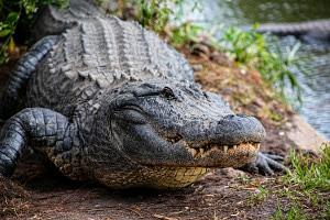 Larry the american alligator