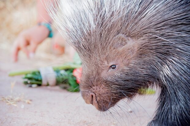 Feed with a keeper crested porcupine