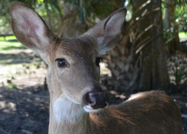 Deer at Wild Florida