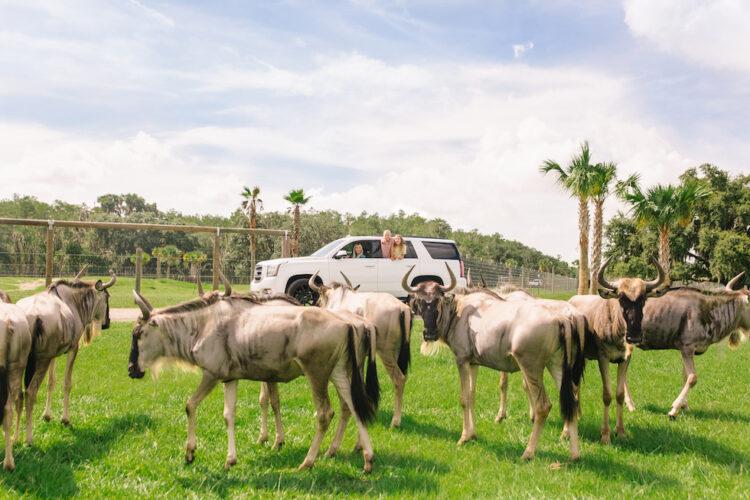 Wild Florida Drive-thru Safari