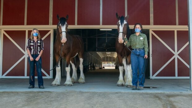New Disneyland horses - Champ and Chip